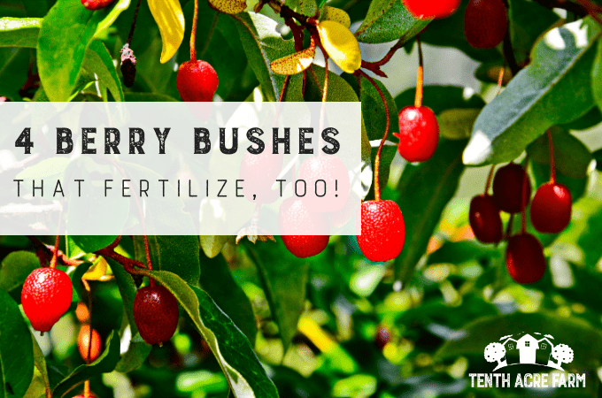 Permaculture gardeners look for plants that are multifunctional. These berry bushes can fix nitrogen in the soil while providing edible berries. #microfarm #growfruit #permaculture #berrybushes #nitrogenfixing