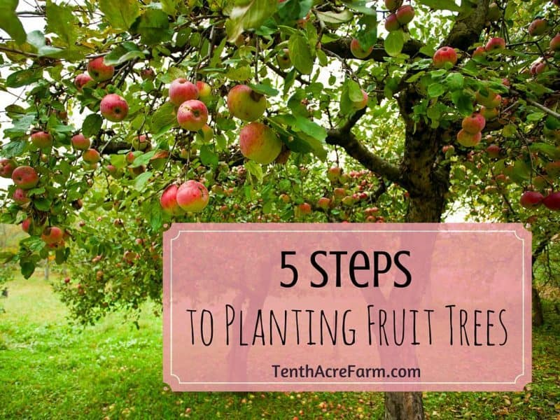 5 steps to planting fruit trees tenth acre farm - Planting fruit trees in autumn ...
