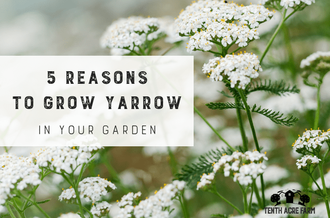 5 Reasons to Grow Yarrow: Yarrow can catapult the success of your garden. A medicinal powerhouse and an essential herb in the permaculture garden, here are 5 reasons to grow yarrow. #growingherbs #permaculture