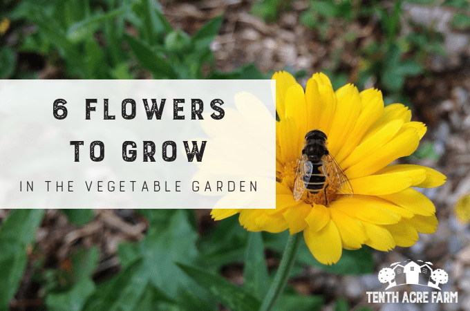 6 Flowers to Grow in the Vegetable Garden: Flowers in the vegetable garden can reduce pest problems and improve biodiversity. Here are the six best flowers to grow for healthy garden crops.