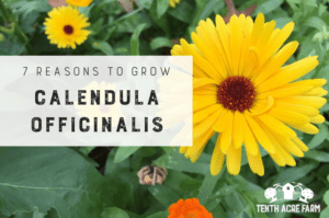 Calendula officinalis, also known as pot marigold, can benefit soil, repel pests, and aid healing. Here are seven reasons to grow this herb. #microfarm #calendula #permaculture #suburbanpermaculture