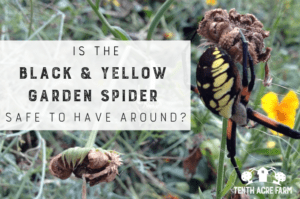 Is the Black and Yellow Garden Spider Safe To Have Around? The black and yellow garden spider is quite shocking to encounter. What is their role in the garden? Are they venomous? Keep reading to find out. #garden #spiders