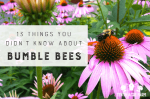 Do bumble bees sleep in flowers? Get the answer and discover more facts about their life cycle, habitat, and how you can help these essential pollinators. #microfarm #bees #bumblebees #gardening #beneficialinsects