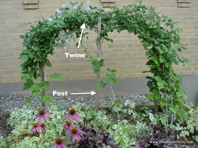 How To Train And Prune Black Raspberries Tenth Acre Farm