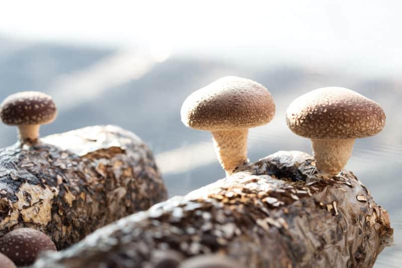 Shiitake mushrooms grow on oak logs.