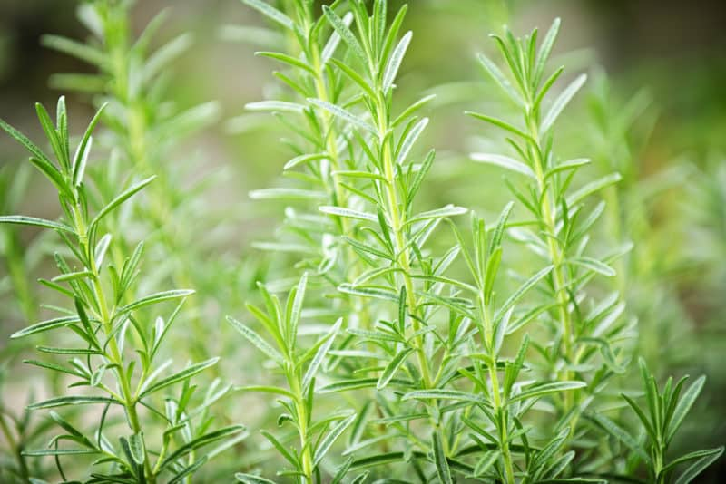 The Secret to Keeping Rosemary Alive Indoors | Tenth Acre Farm