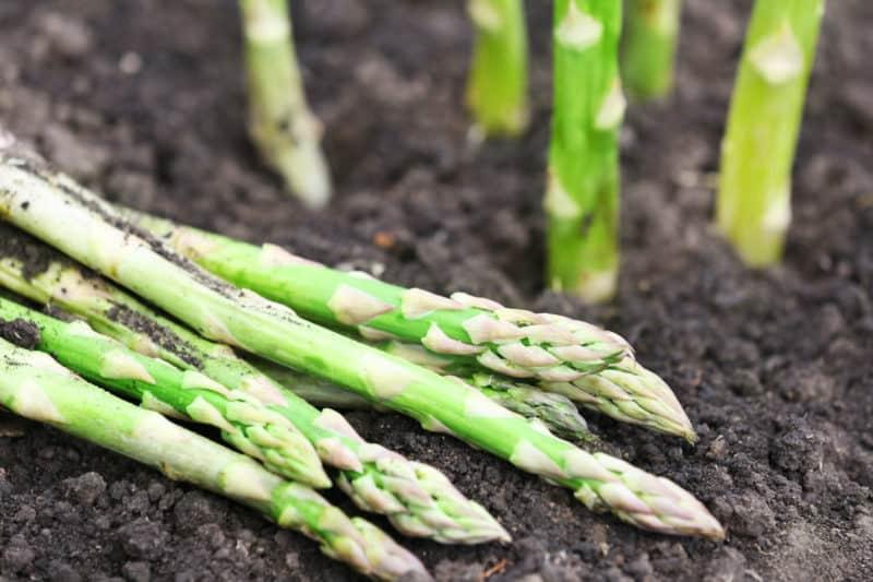 Asparagus is a high-value perennial vegetable.