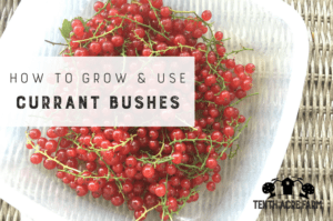 Currant bushes are a great addition to the edible landscape. Here's how I grow them in my landscape and use the currants in the kitchen. #microfarm #currants #ediblelandscape #ediblelandscaping #permaculture #suburbanpermaculture #gardening #gardentips