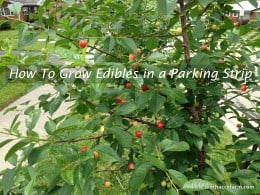 Pie cherries on a dwarf cherry tree in the parking strip