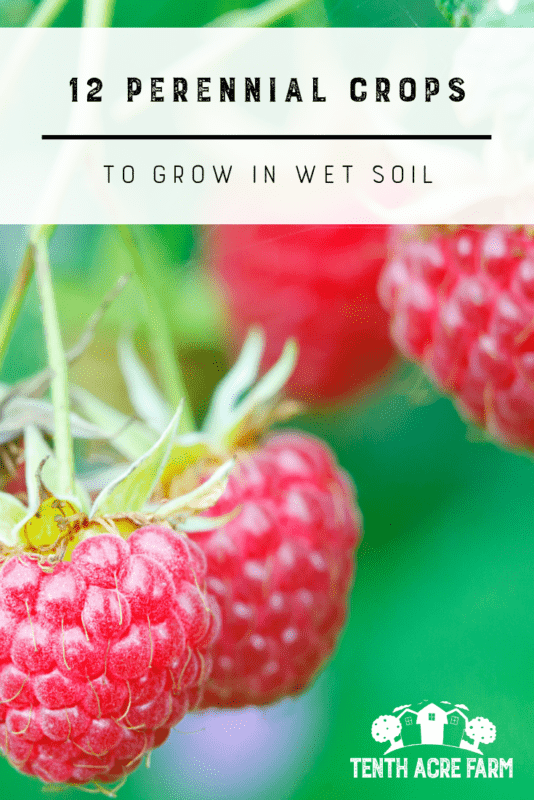 Wet soil can be a challenge for even the most experienced gardeners. Here are some tips for growing in wet soil and 12 perennial crops to try.