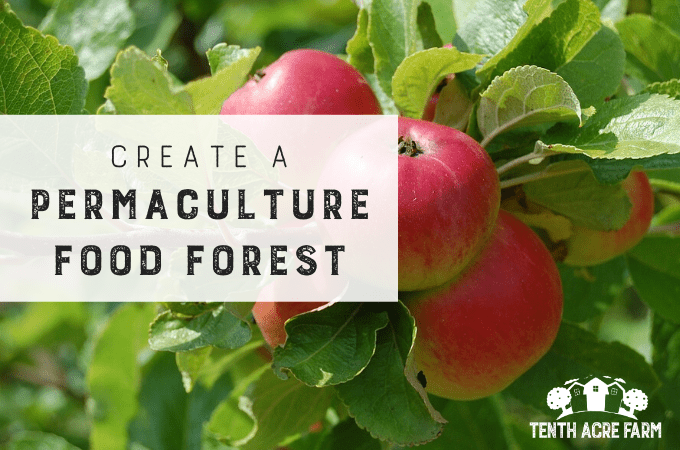 Create a Food Forest for a Low-Maintenance Garden: A food forest, or edible forest garden, is a food production strategy. Find out how to create a low-maintenance, permaculture garden with edible rewards! #microfarm #foodforest #ediblelandscaping #permaculture #suburbanpermaculture #perennialcrops