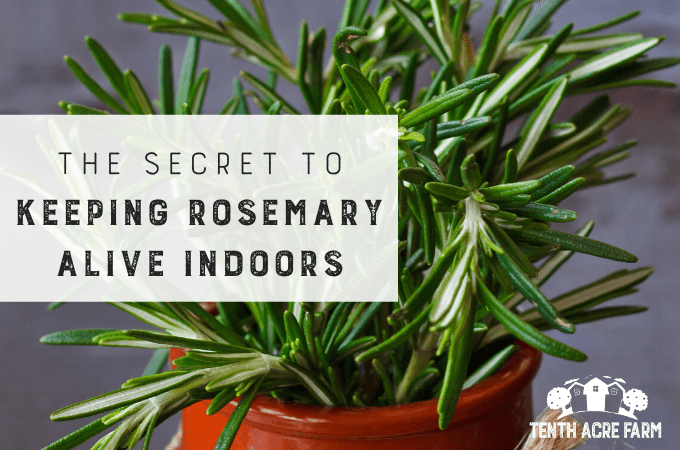 Growing rosemary indoors is a little tricky. If you experience cold winters, follow these tips to keep your potted rosemary alive inside. #growingherbs
