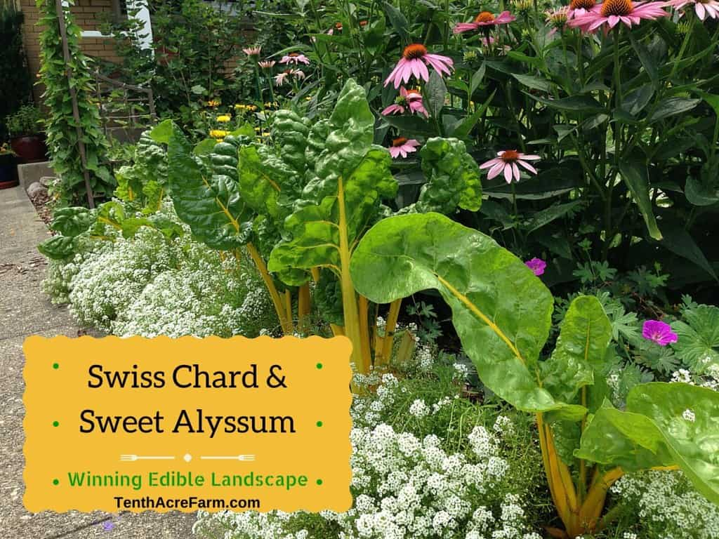 Swiss Chard And Sweet Alyssum Winning Edible Landscaping