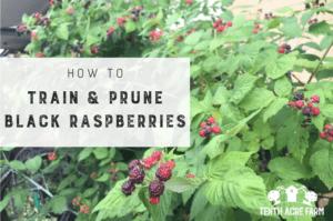 How To Train and Prune Black Raspberries