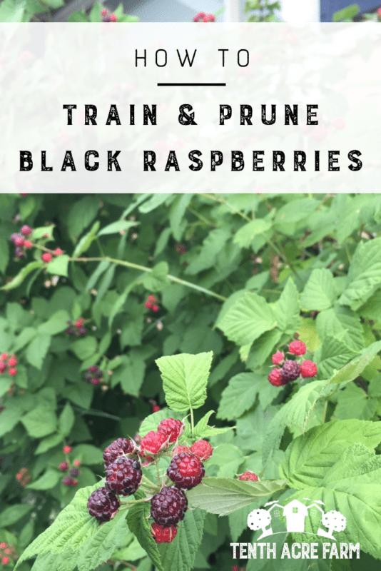 How to train and prune black raspberries for the best harvest. #growyourownfruit #organicgardening