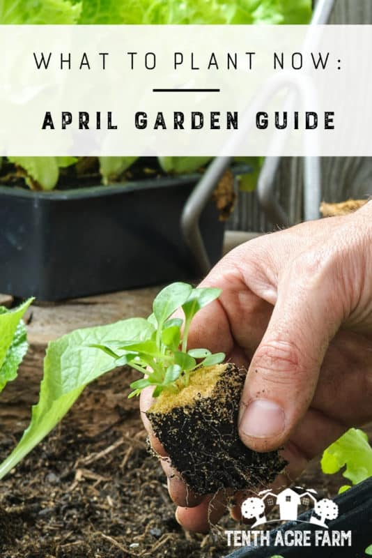 What to Plant Now: April Garden Guide: Here are some ideas for prioritizing seed starting, planting seedlings, garden maintenance, and more. #gardening