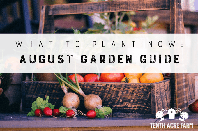 August is when the mega-harvests come in. In this article, we'll look at how to manage all of the produce flooding the kitchen while also maintaining the garden.