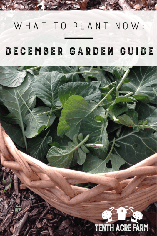 What to Plant Now: December Garden Guide - Many of us will ignore the garden as holiday preparations take precedence. Others are looking forward to next year. Either way, there's plenty to do in the garden to make the springtime garden more manageable.