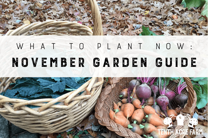 What to Plant Now: November Garden Guide - As the chill in the air gets colder, it's easy to forget to visit the garden. Many people don't think of November as the season for gardening, but there's always something to do or harvest in the garden. Here are some ideas for managing your garden this month.