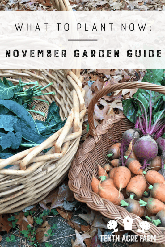 What to Plant Now: November Garden Guide - As the chill in the air gets chillier, it's easy to forget to visit the garden. Many people don't think of November as the season for gardening, but there's always something to do or harvest in the garden. Here are some ideas for managing your garden this month.