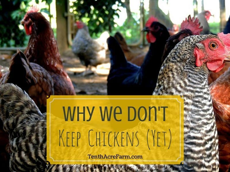 As visions of homesteads dance in the heads of more and more city folk, they likely include dreams of mini backyard barnyards and the faint sounds of animals foraging. Here are three reasons why we don't have chickens yet (and what we're doing instead).