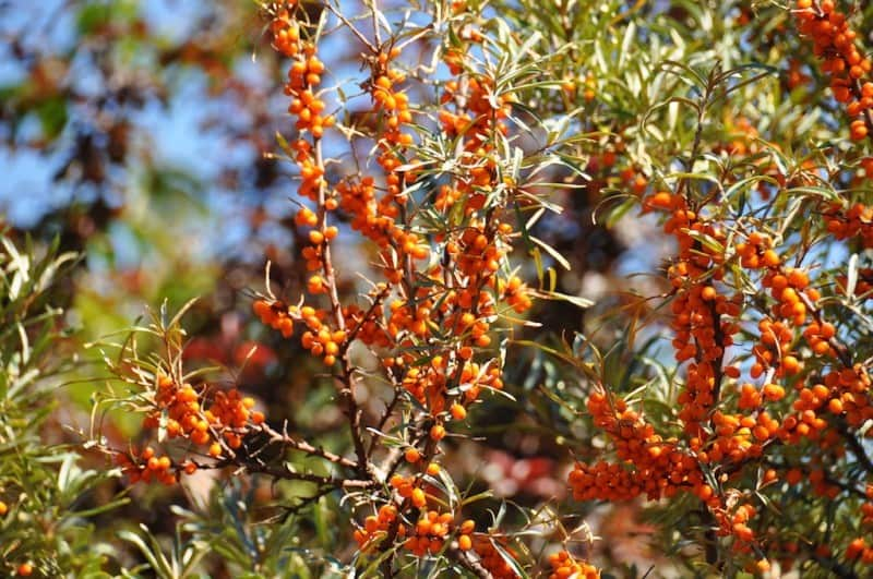 4 berry producing shrubs that fertilize too tenth acre farm - Growing sea buckthorn ...